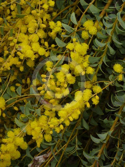 Acacia Cultriformis Cascade Cascade Knife Leaf Wattle Information