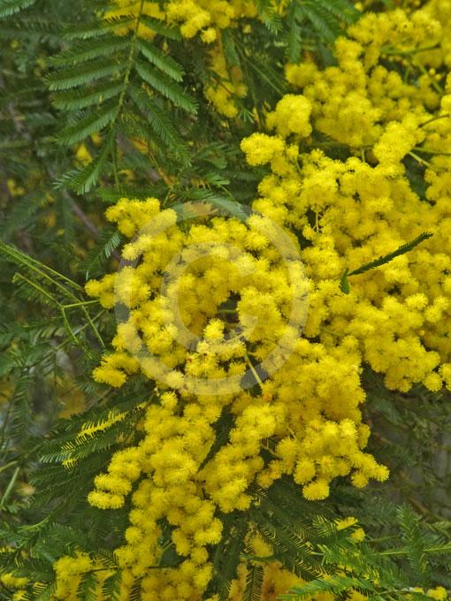 Acacia Filicifolia Fern Leaf Wattle Information Amp Photos