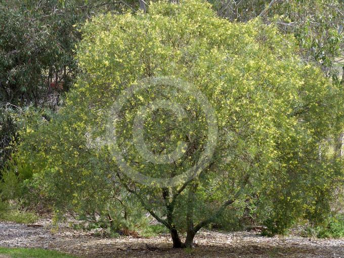 Acacia Iteaphylla Flinders Range Wattle Port Lincoln Wattle