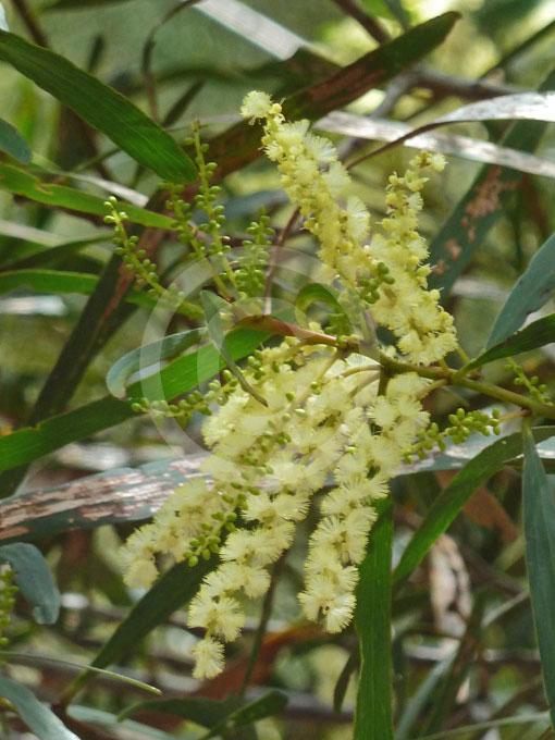 Acacia Obtusifolia Stiff Leaf Wattle Information Photos
