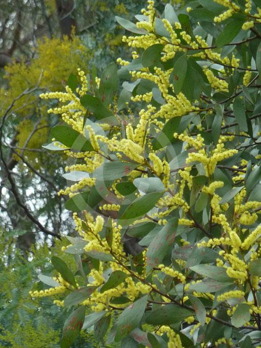 Acacia phlebophylla | Buffalo Sallow Wattle information & photos