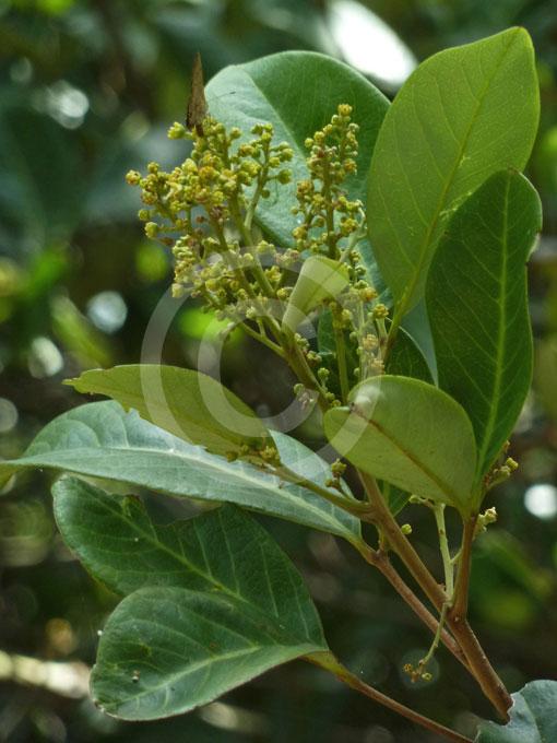ImageSpace - Rambutan Plant Leaf | gmispace com