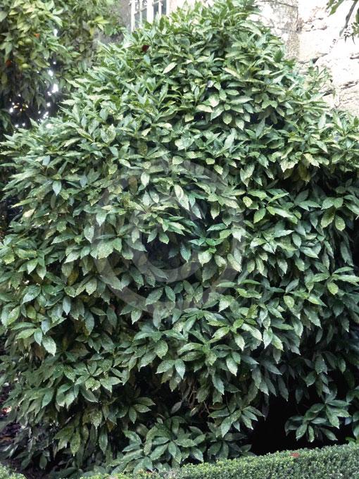 aucuba japonica variegata gold dust plant spotted. Black Bedroom Furniture Sets. Home Design Ideas